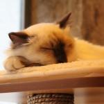 Le GentleCat, un salon de thé chat-crément bien